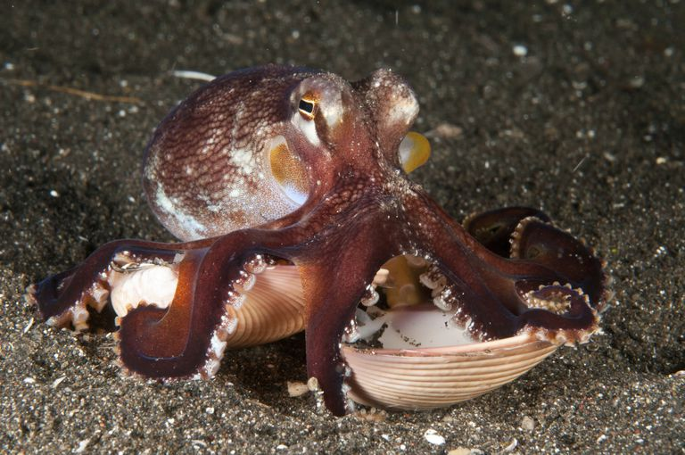 A coconut octopus carrying a clamshell
