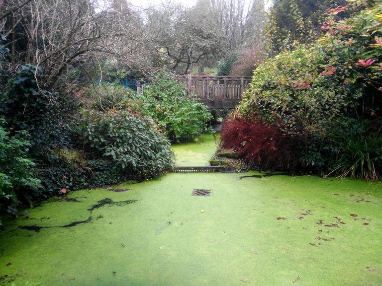 algae bloom in a pond