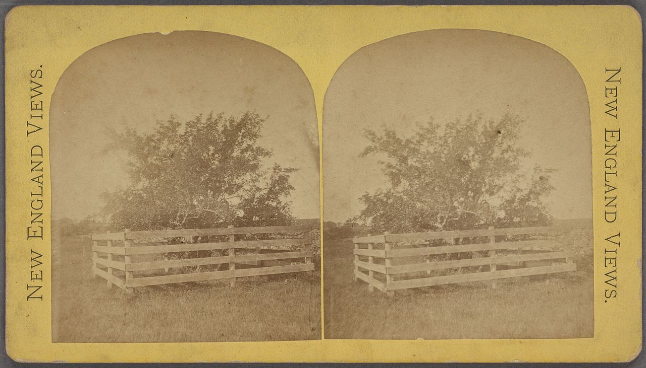 The old Endicott pear tree circa 1865-1890