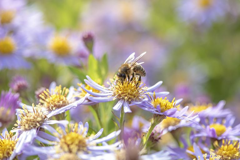 honeybee collects pollen from late summer flowering purple Aster flowers