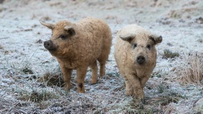 Two blonde Mangalica pigs standing on snow-covered grass
