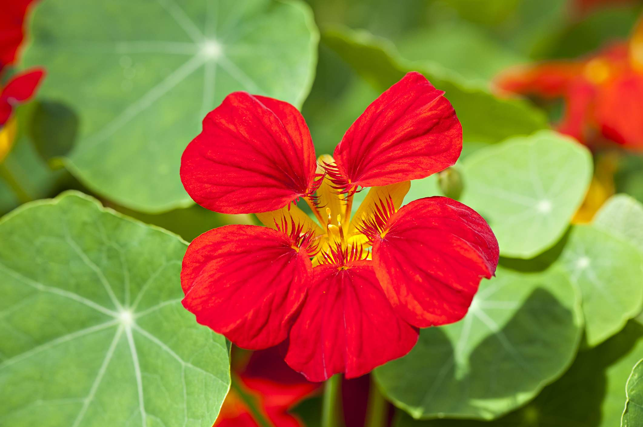 Single red nasturtium surrounded by its signature round leaves