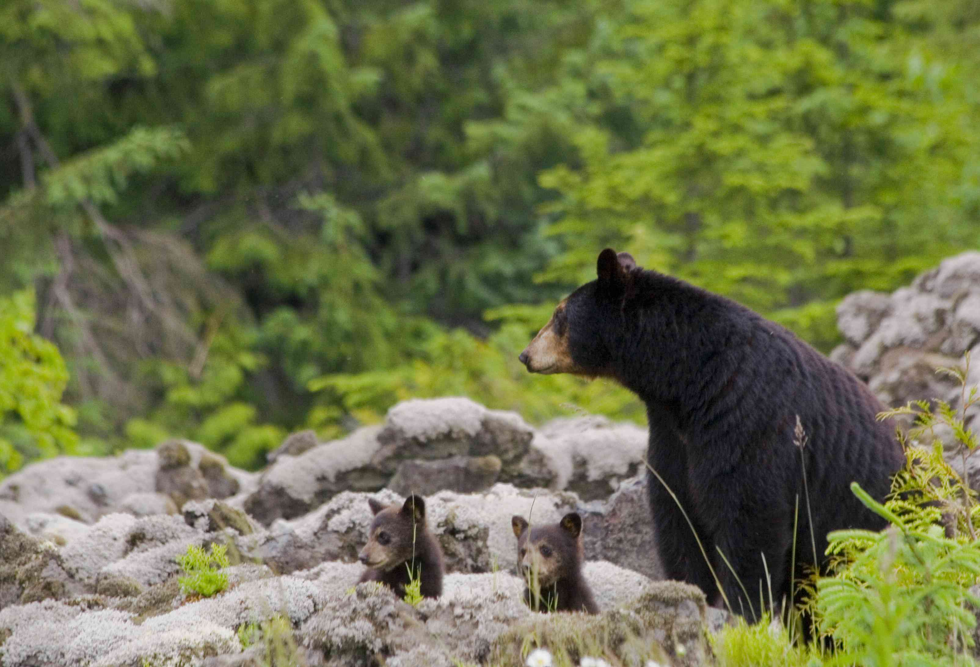 Female black bear with her two cubs in BC, Canada