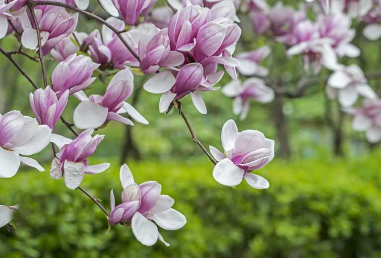 Pink white Saucer Magnolia on branches against green shrubs.