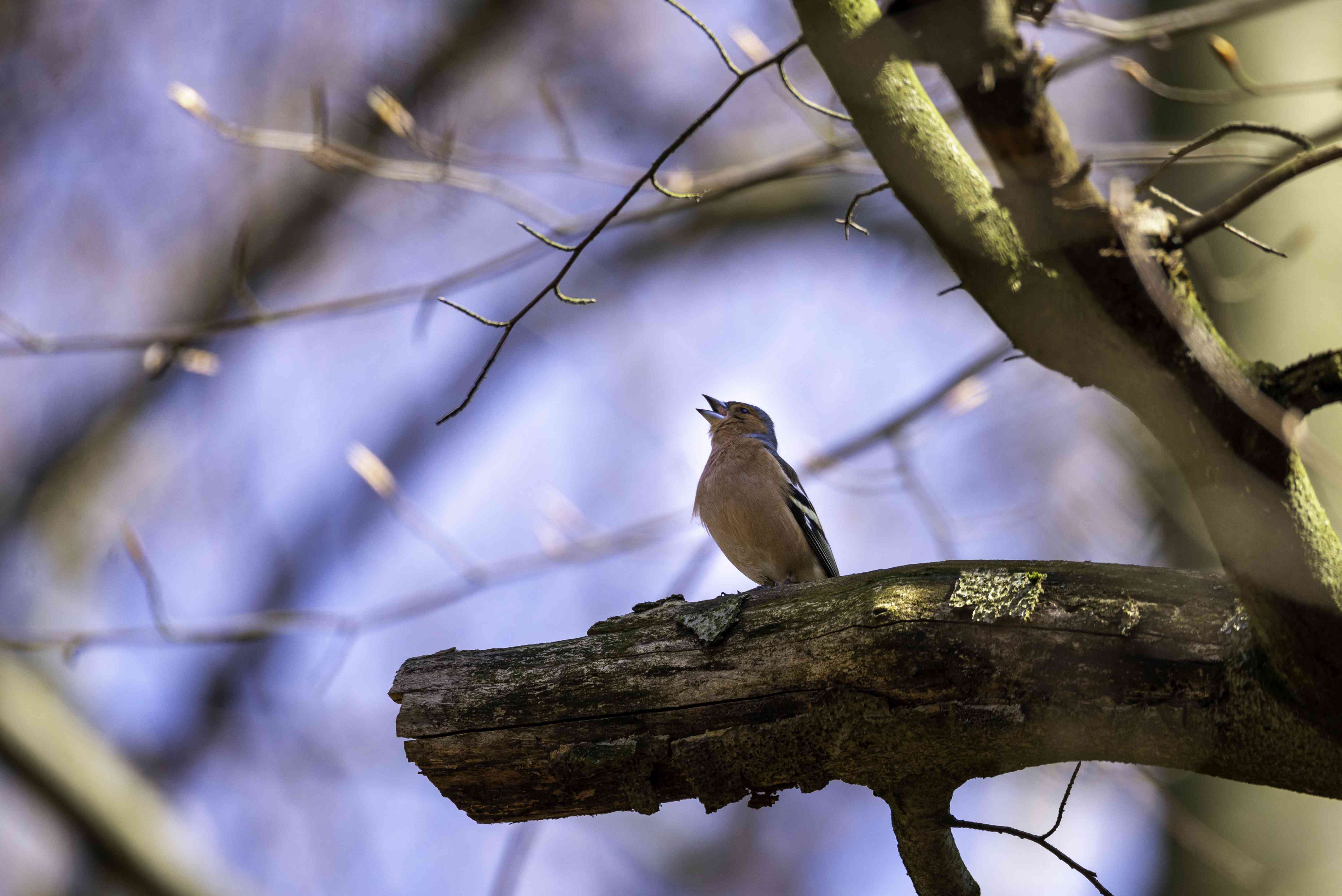 portrait of a small european chaffinch sitting and singing on a tree