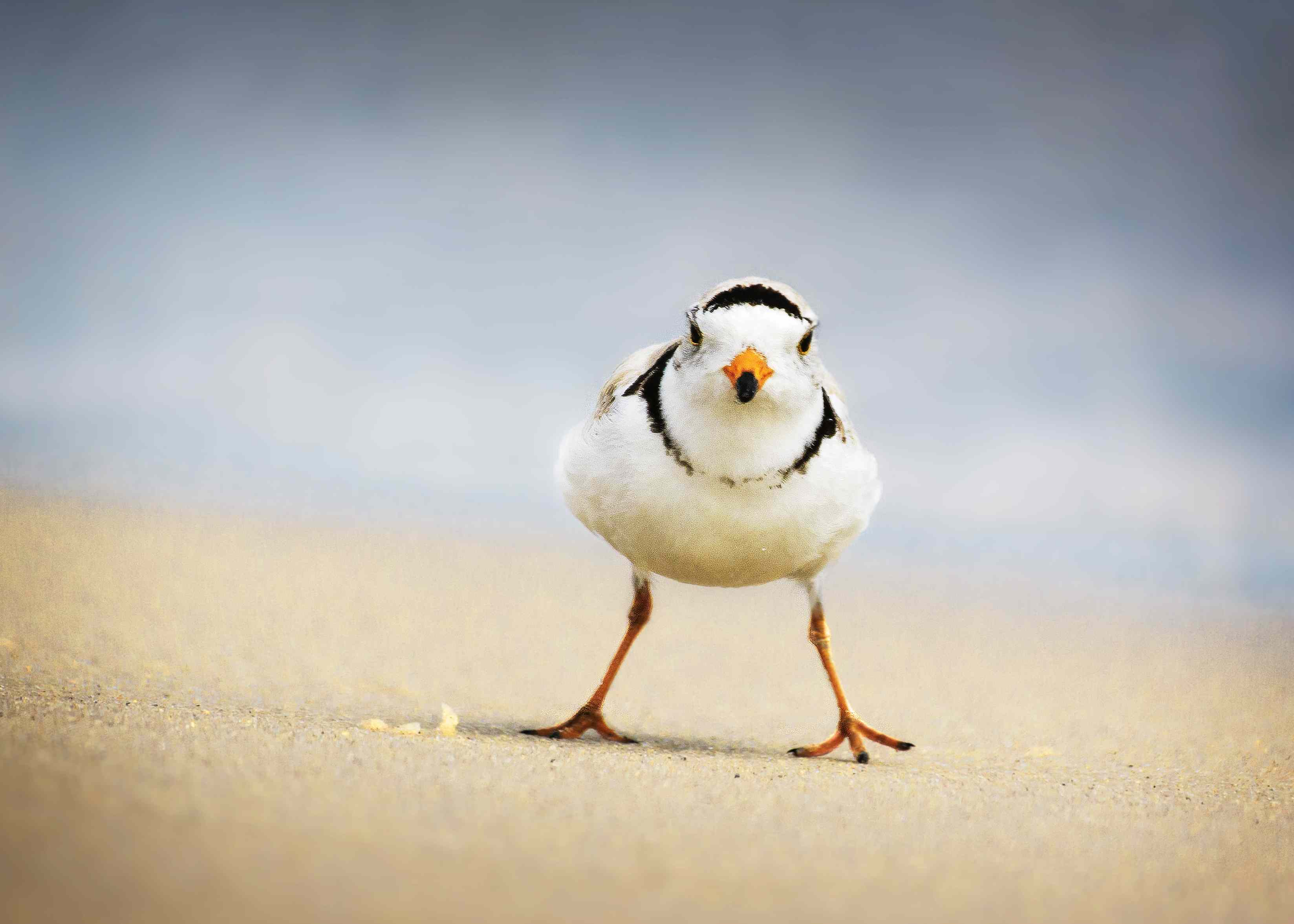 A piping plover with bright orange legs and orange beak standing on a beach.