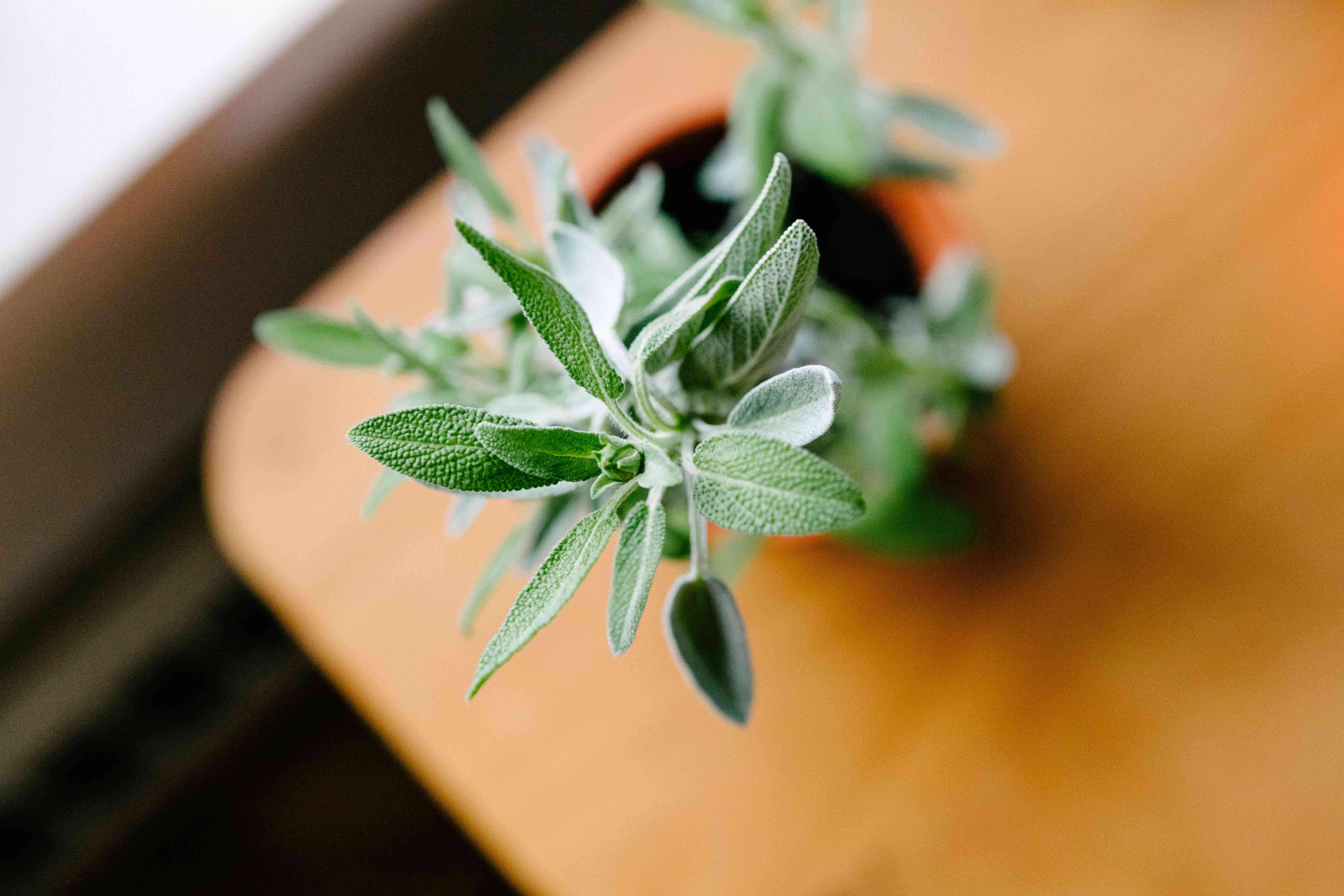 overhead tight focus shot of fuzzy sage herb plant in pot on wooden table