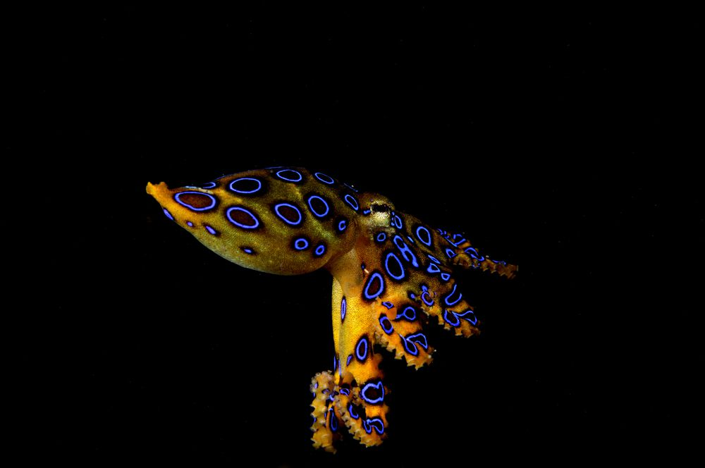 Blue-ringed octopus with light-reflecting spots