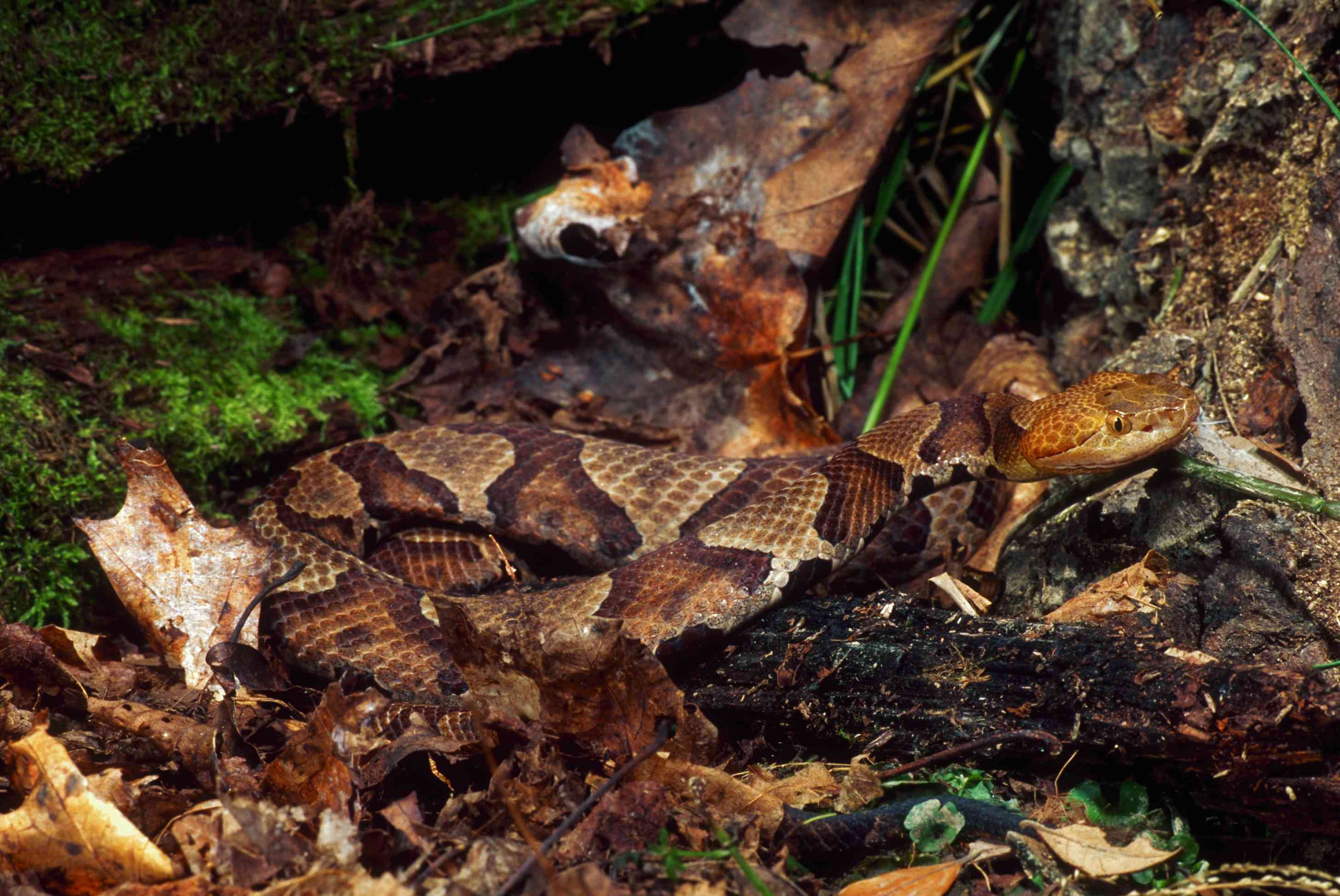 Northern copperhead on the ground in a forest