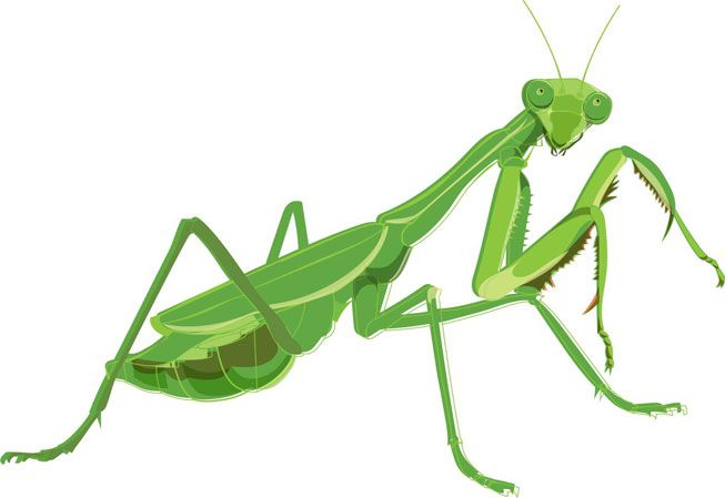 An illustration of a mantis