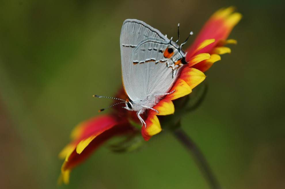 Gray hairstreak butterfly appears to have two heads