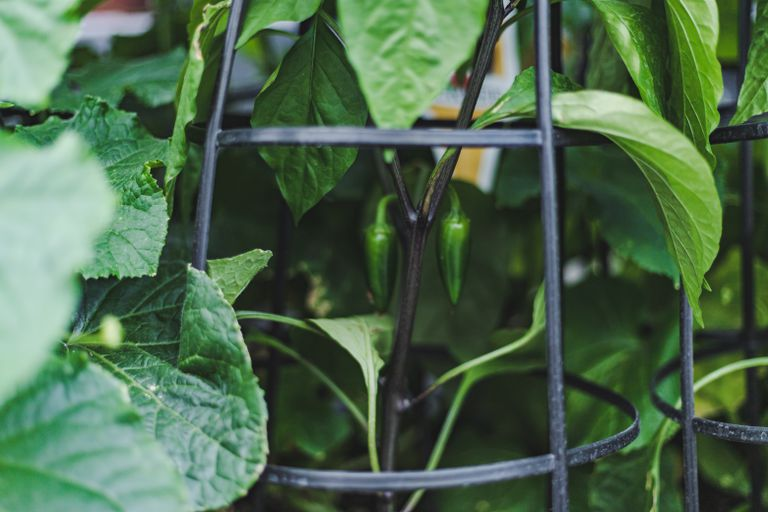 green pepper plant grows in garden with help of metal trellis