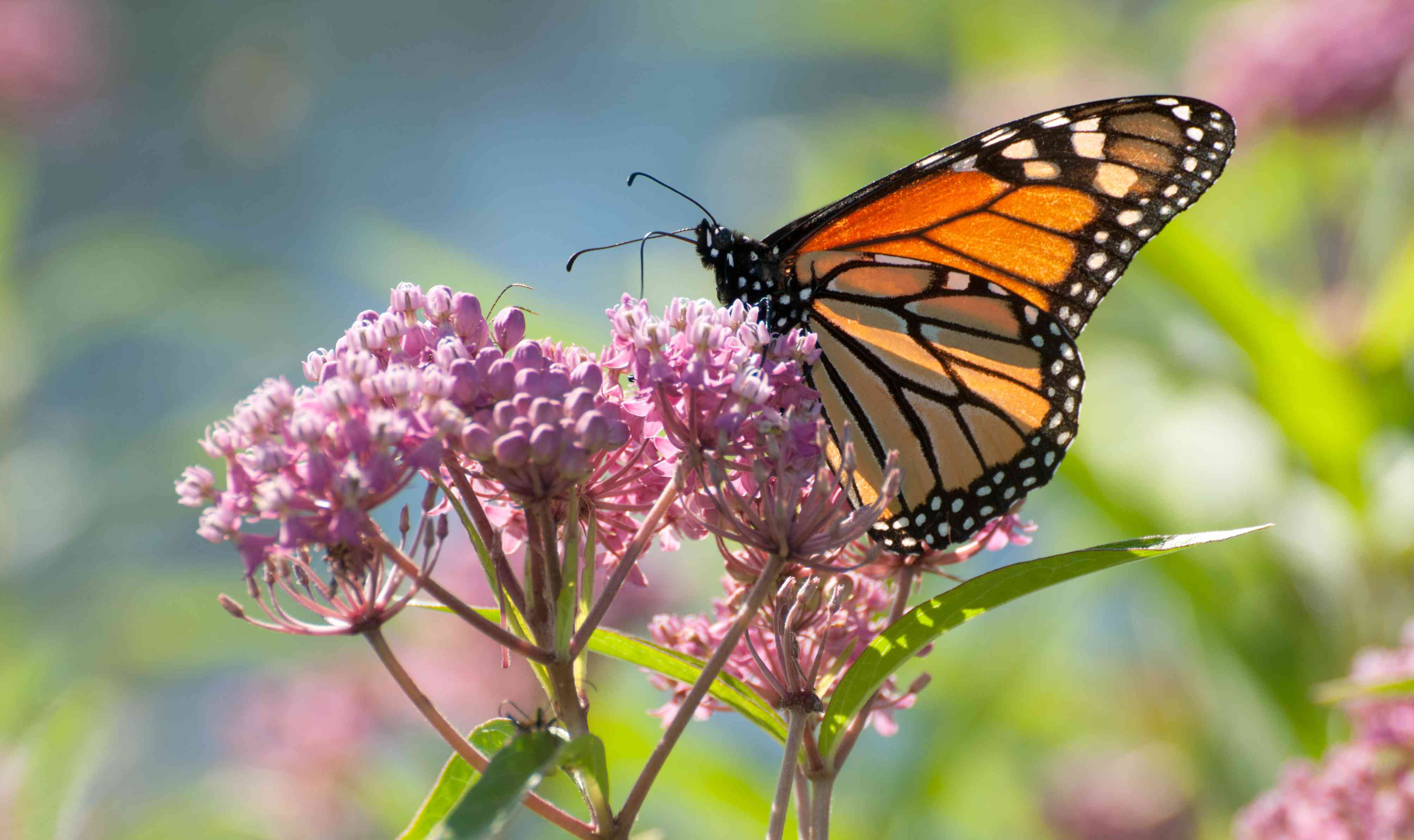 A monarch butterfly perches on a pink swamp milkweed plant.