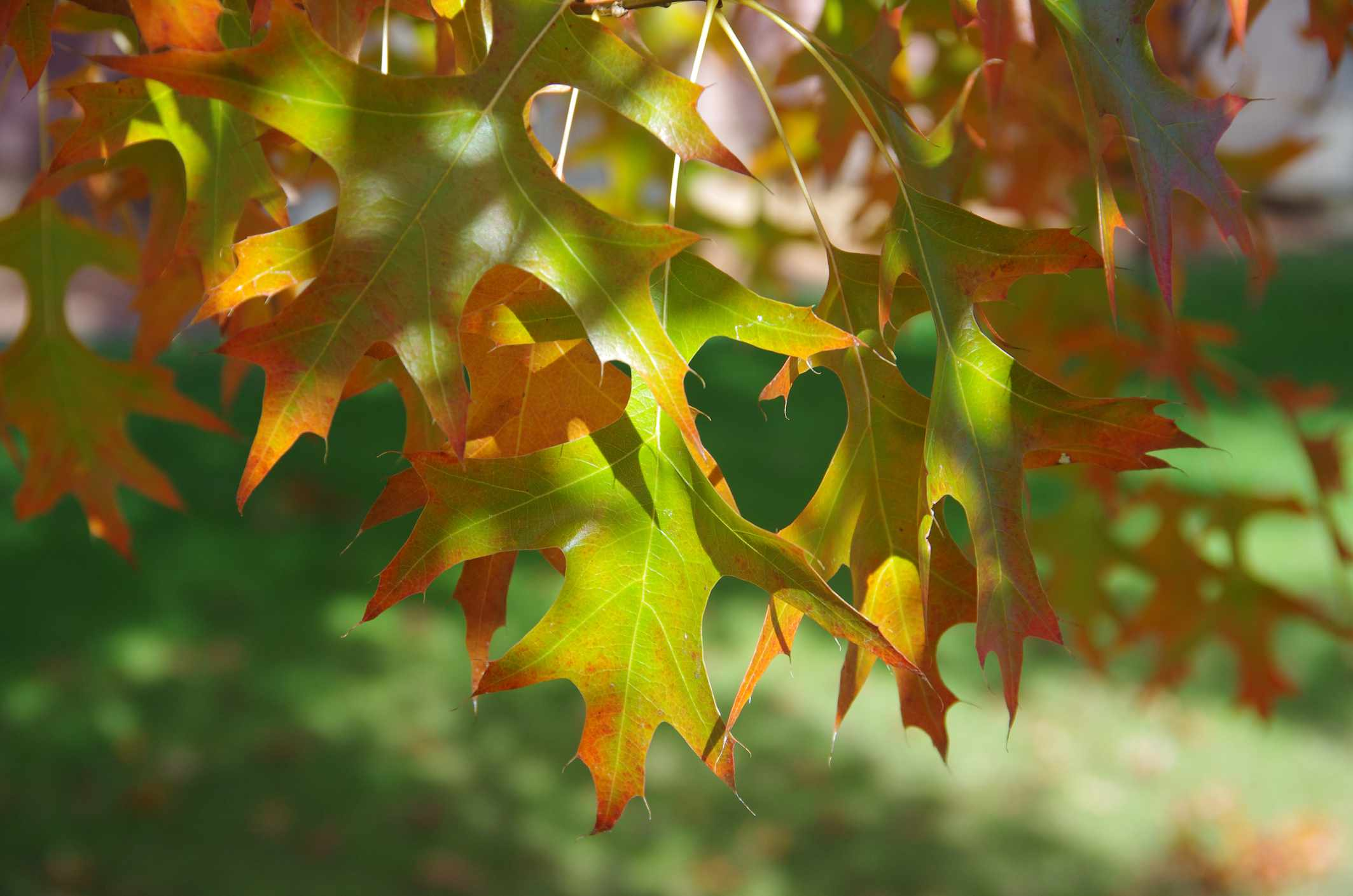 Close up of leaves turning red on a Pin Oak tree.