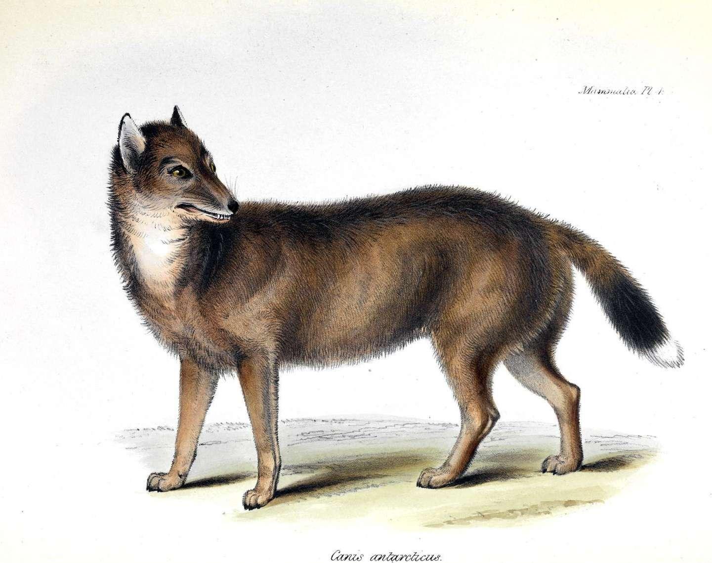 Color illustration of Falkland Island Wolf
