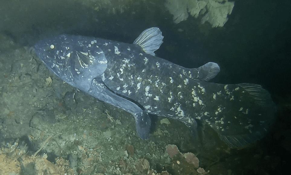 A coelacanth underwater in the dark.