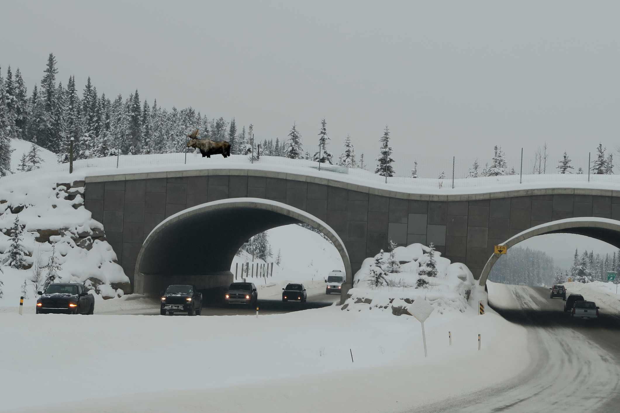 Moose crossing a wildlife bridge in Banff National Park