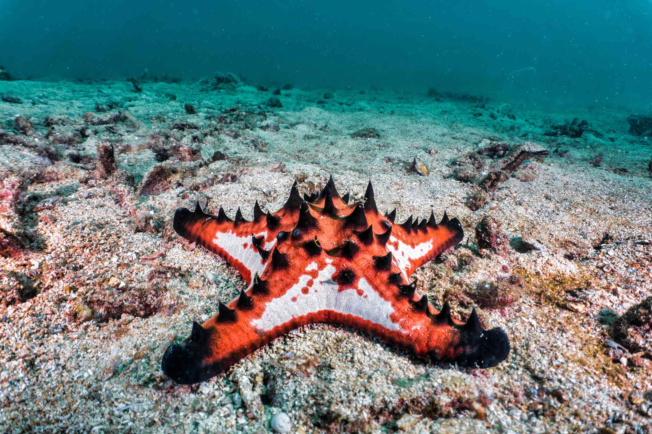 Chocolate chip sea star with black horns