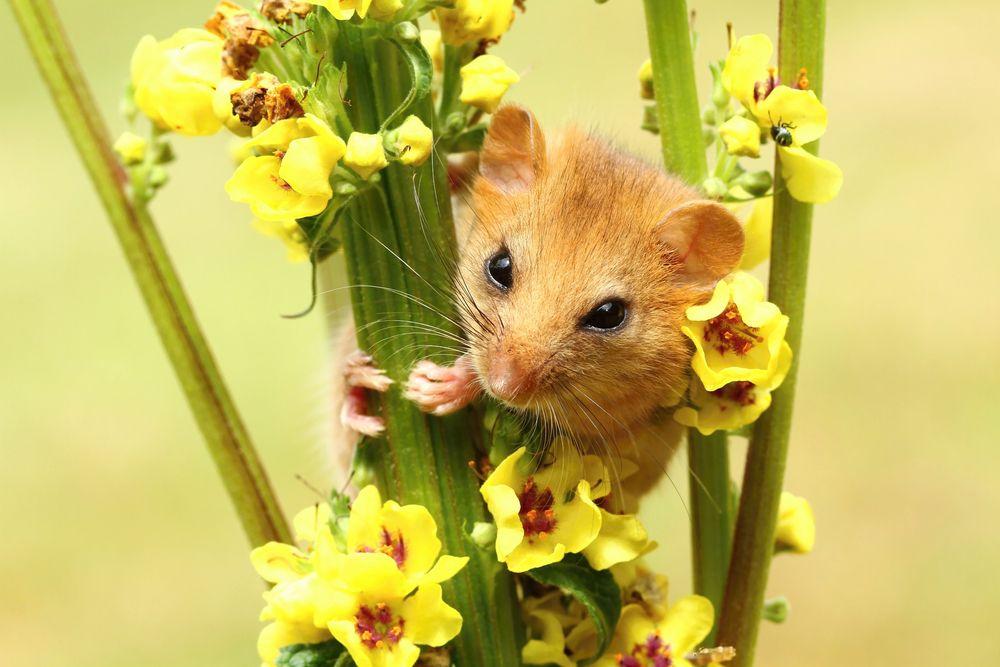 A dormouse peeks through yellow flowers