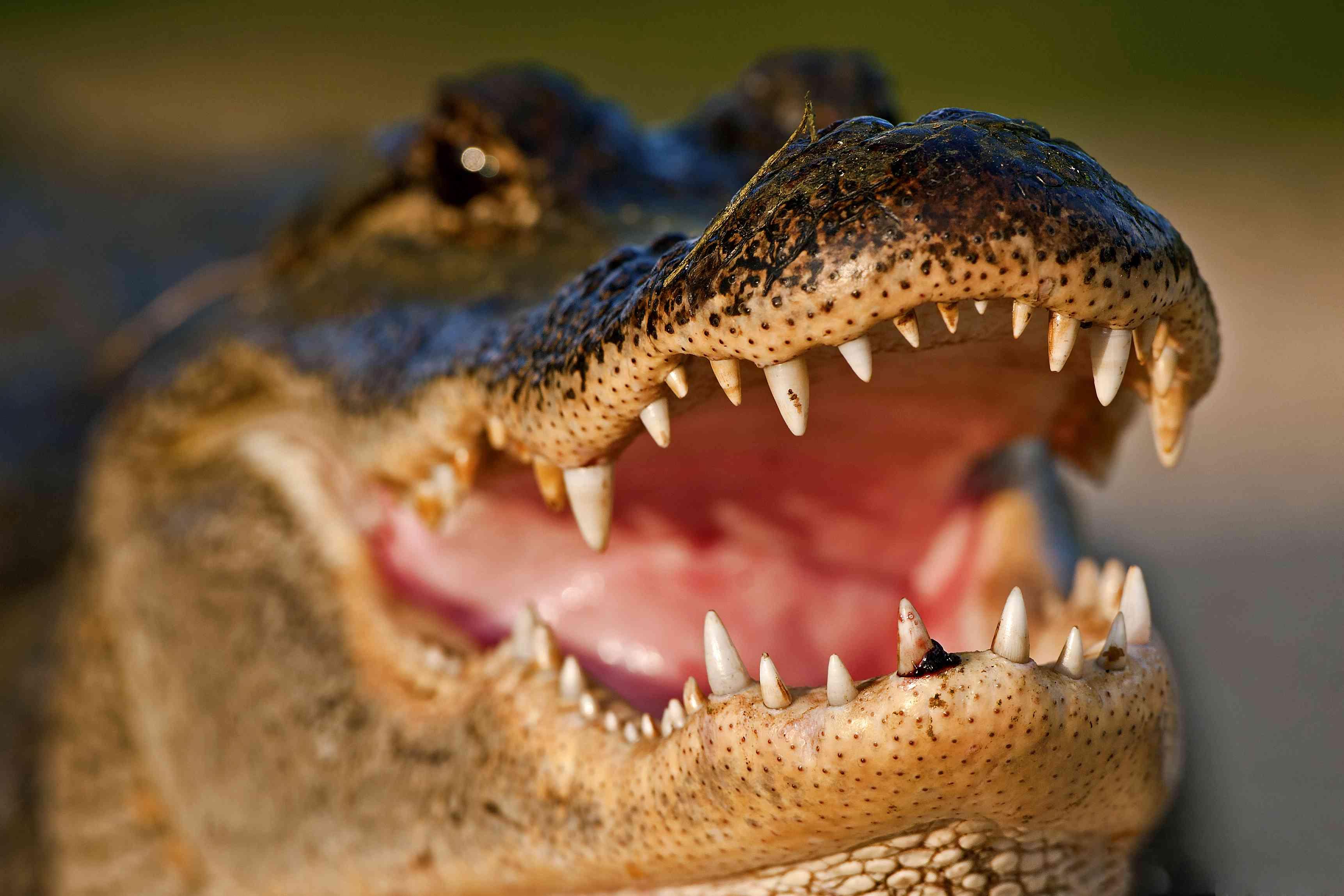 American alligator showing its teeth