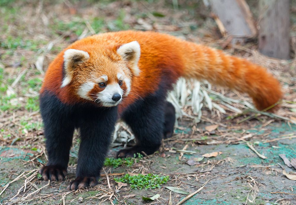 A red panda with a white patterned face and ears and black fur legs