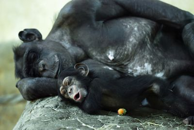 Adult and baby chimp