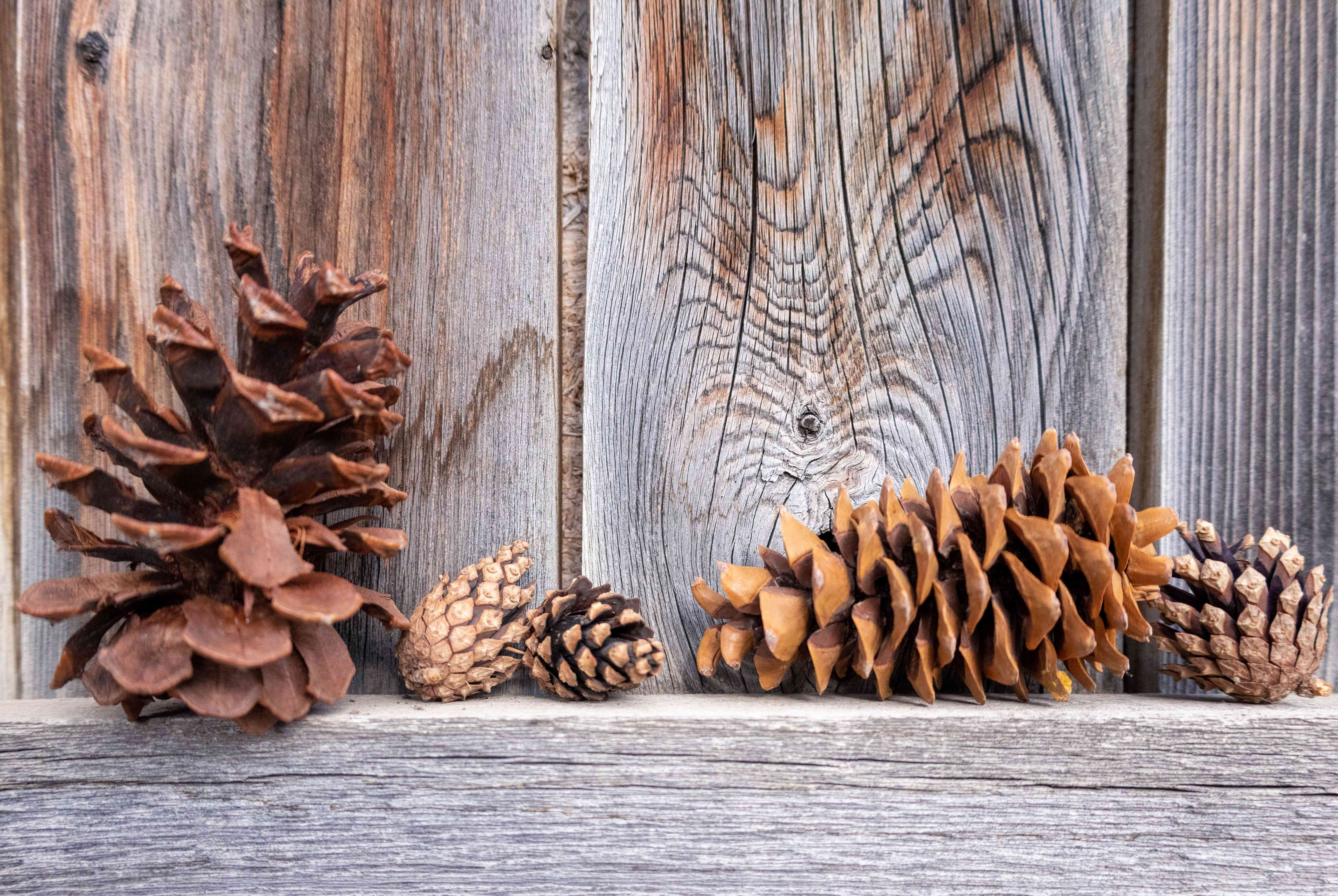 various shapes and sizes of pine cones propped up on wooden fence