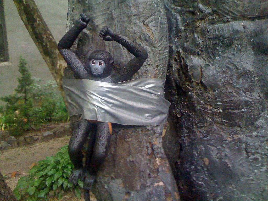 taping gorilla to tree