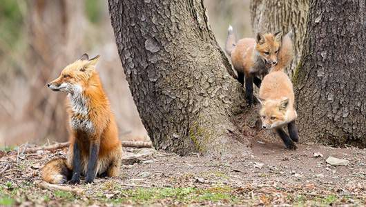 Mother fox sits while kits play around a tree