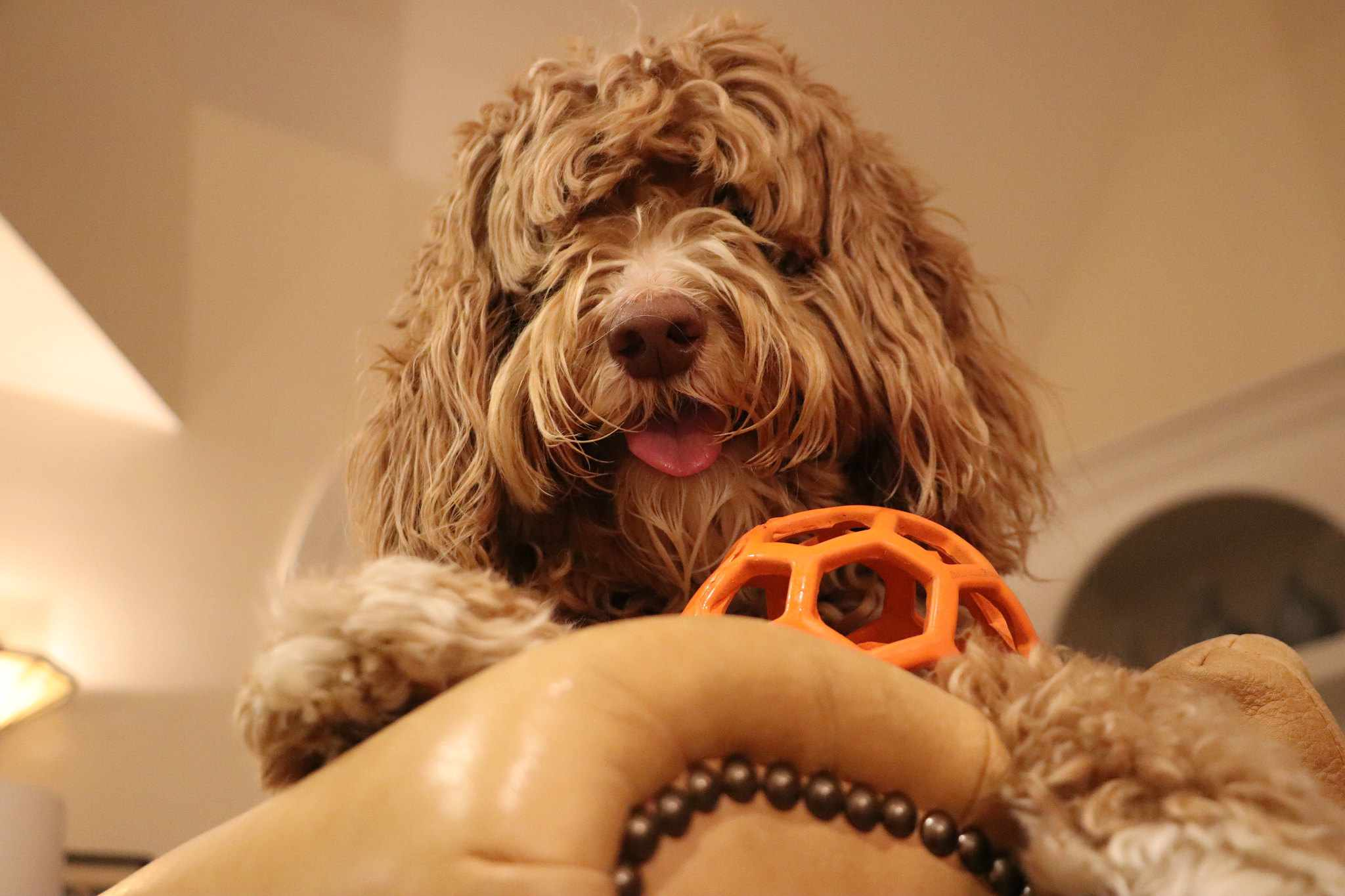 Labradoodle with ball