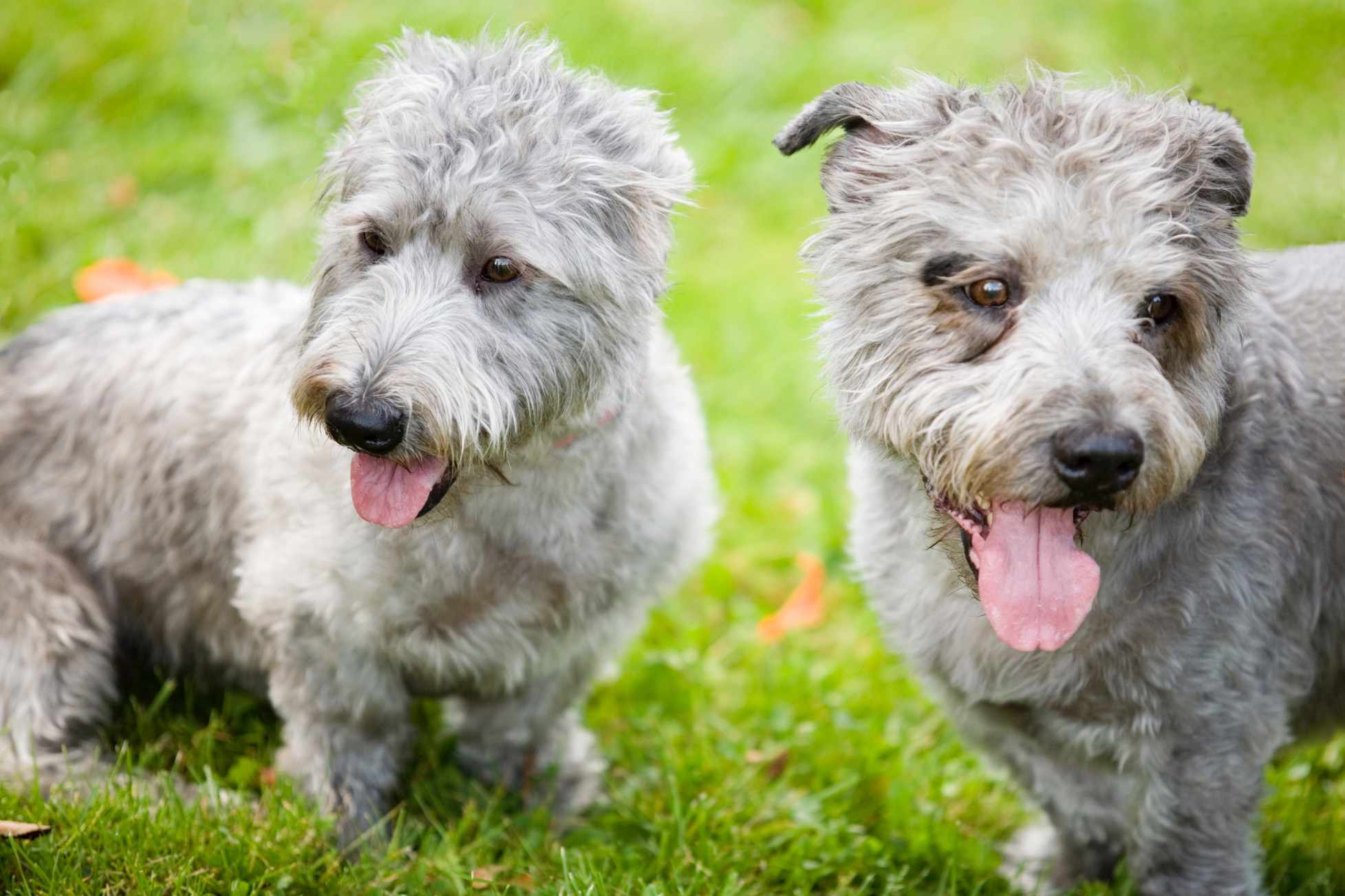 pair of gray glen of imaal terriers sitting with tongues hanging out