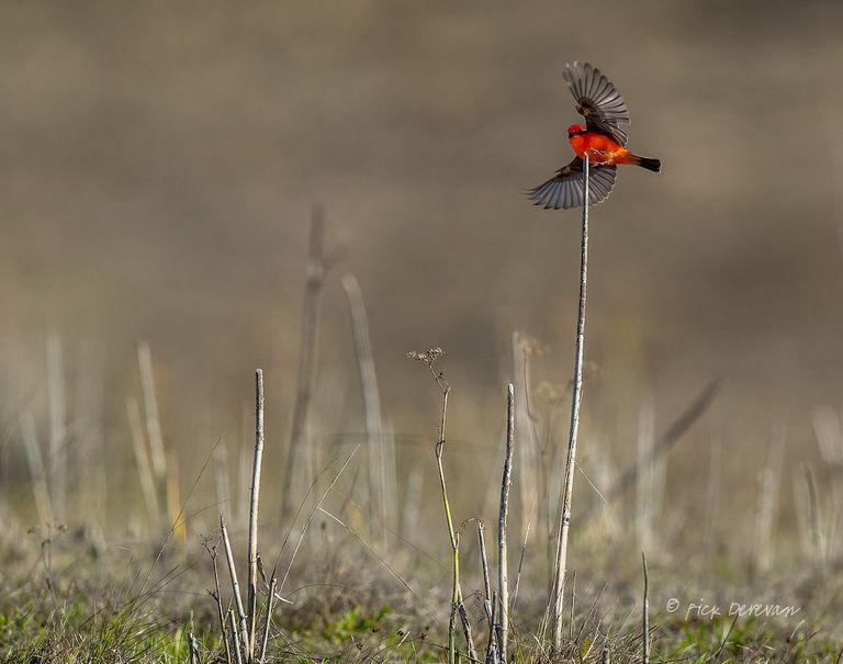 A vermillion flycatcher in flight