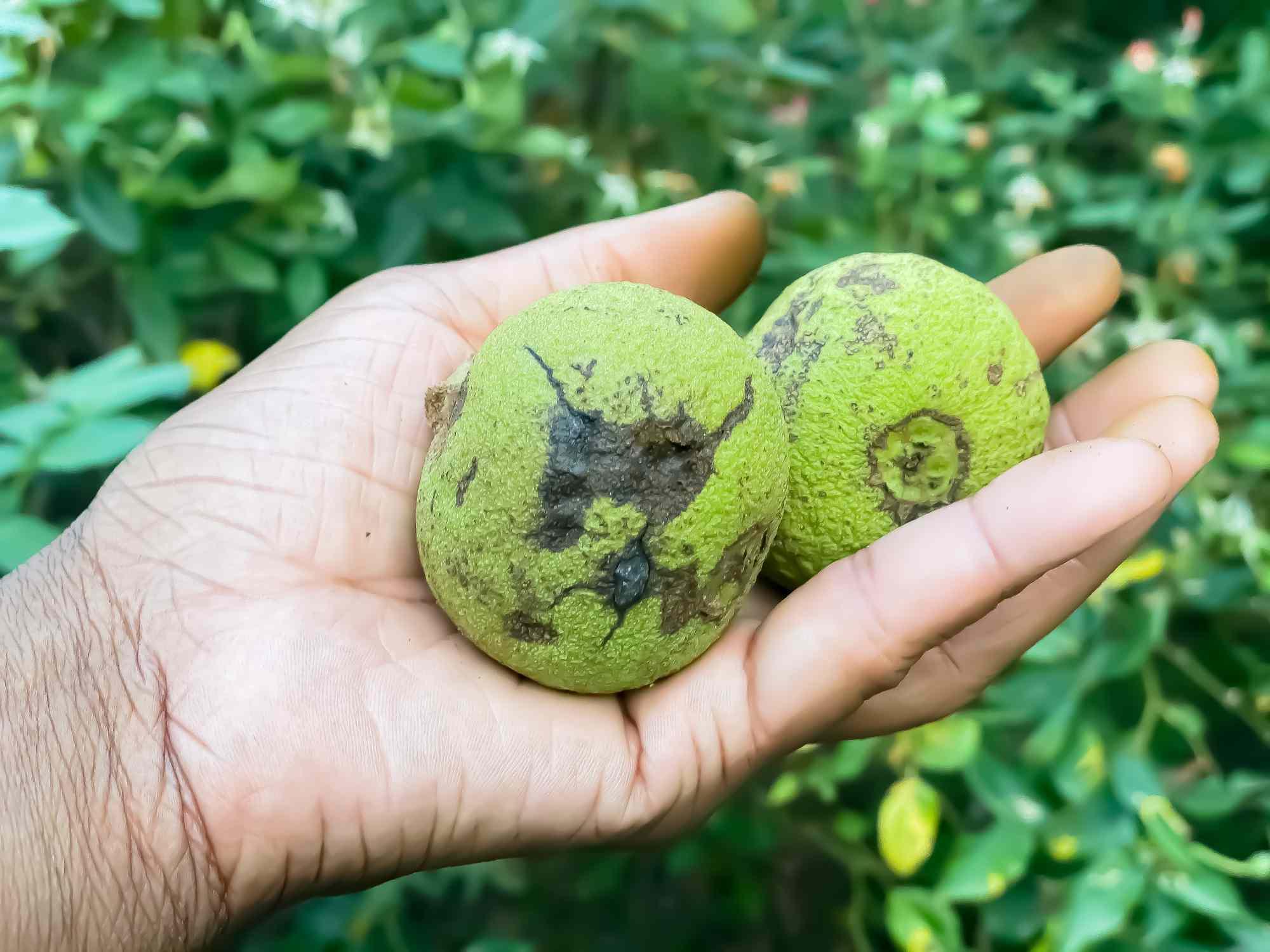 A hand holding Black Walnuts.