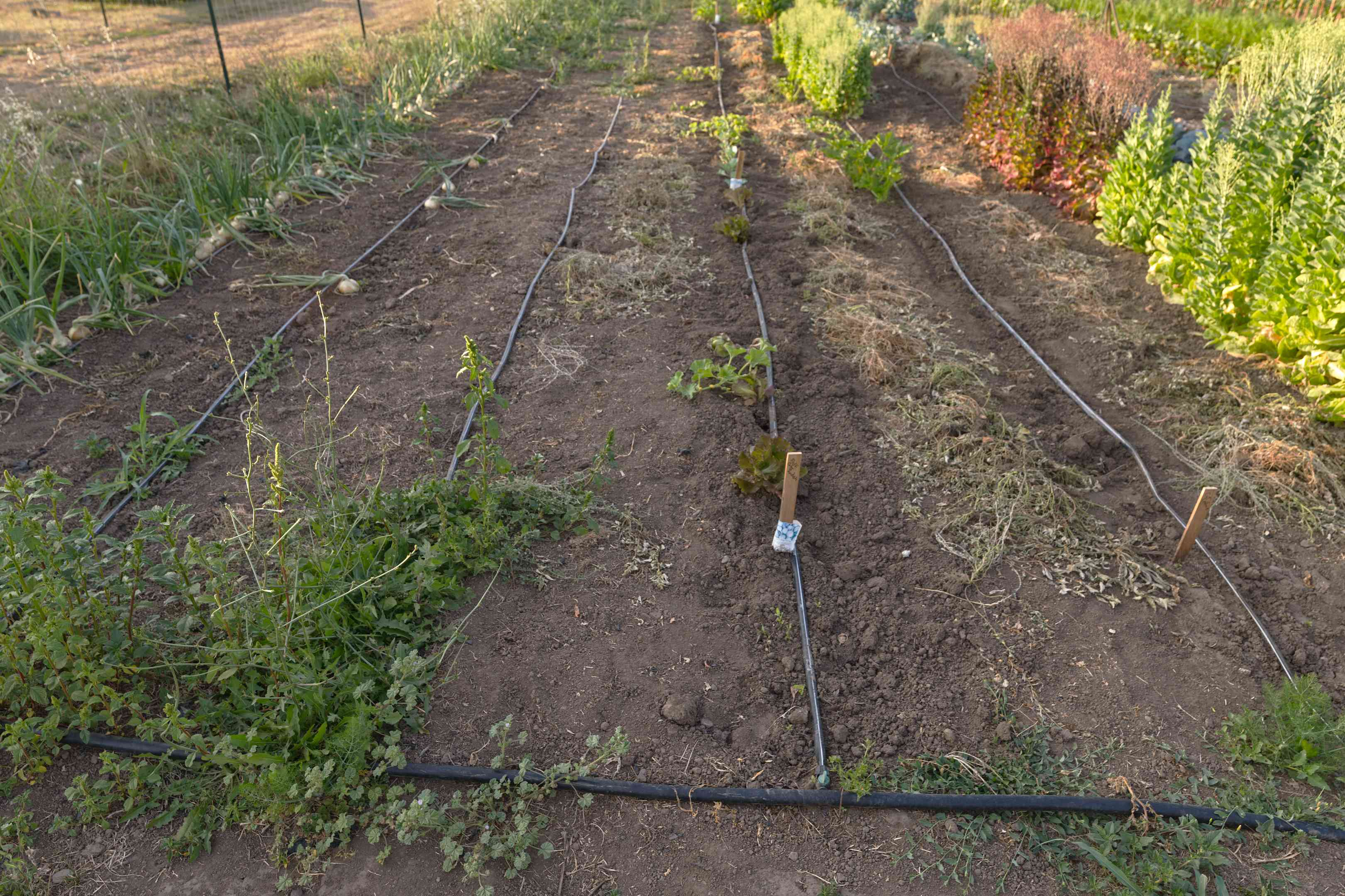 long view of complicated multi-row drip irrigation system in outside garden
