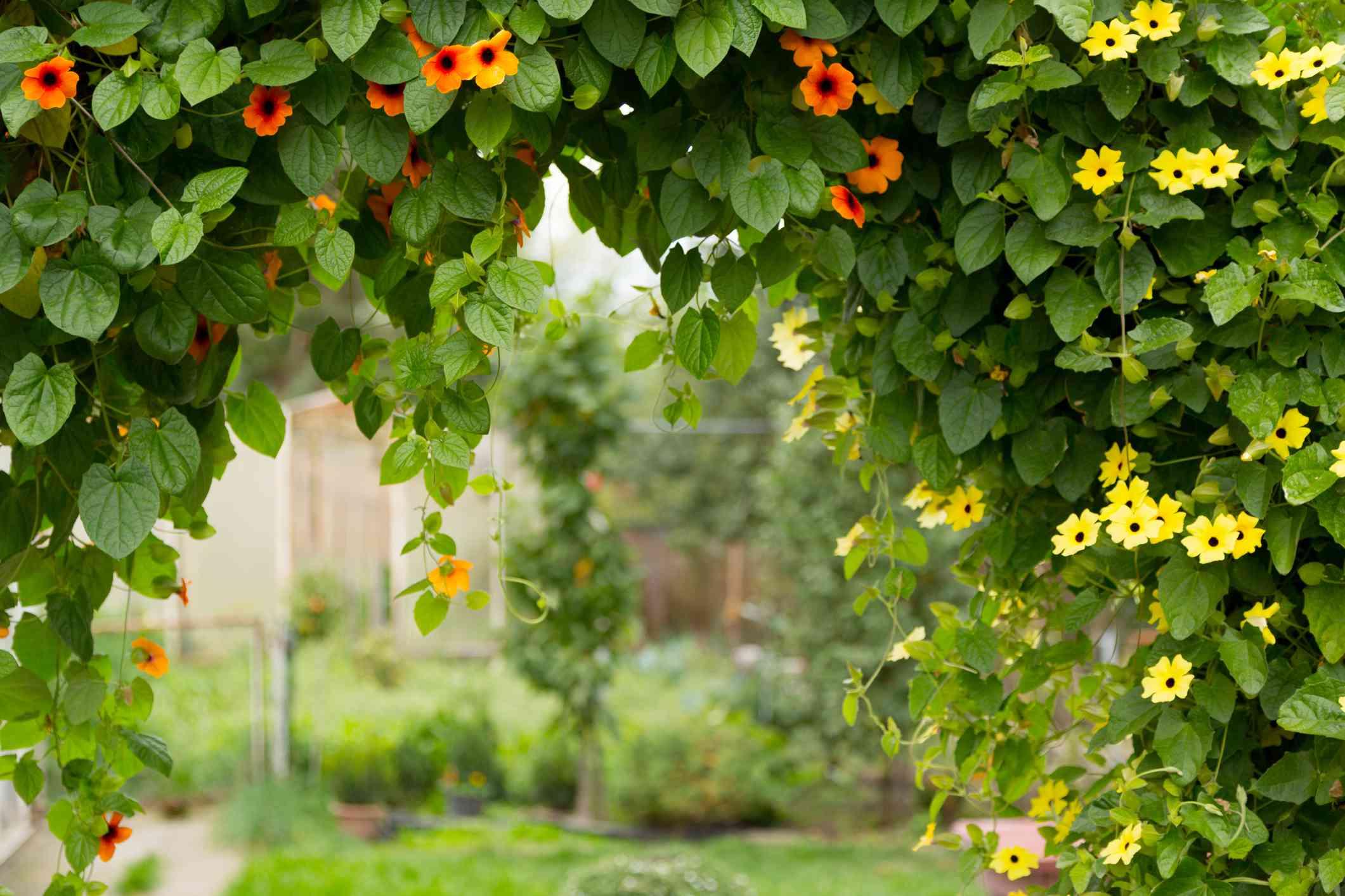 Blooming black-eyed susan vine
