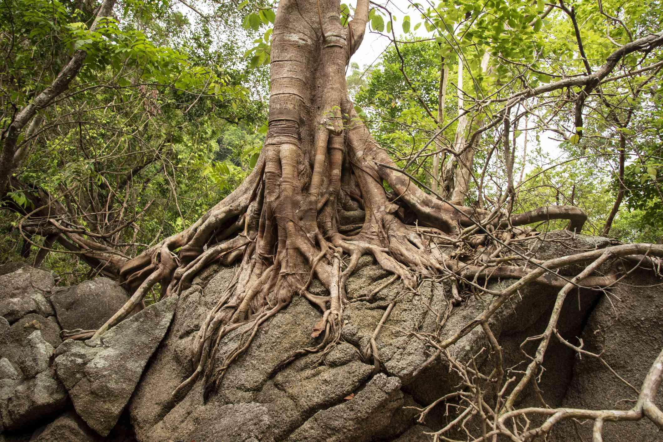 Banyan root