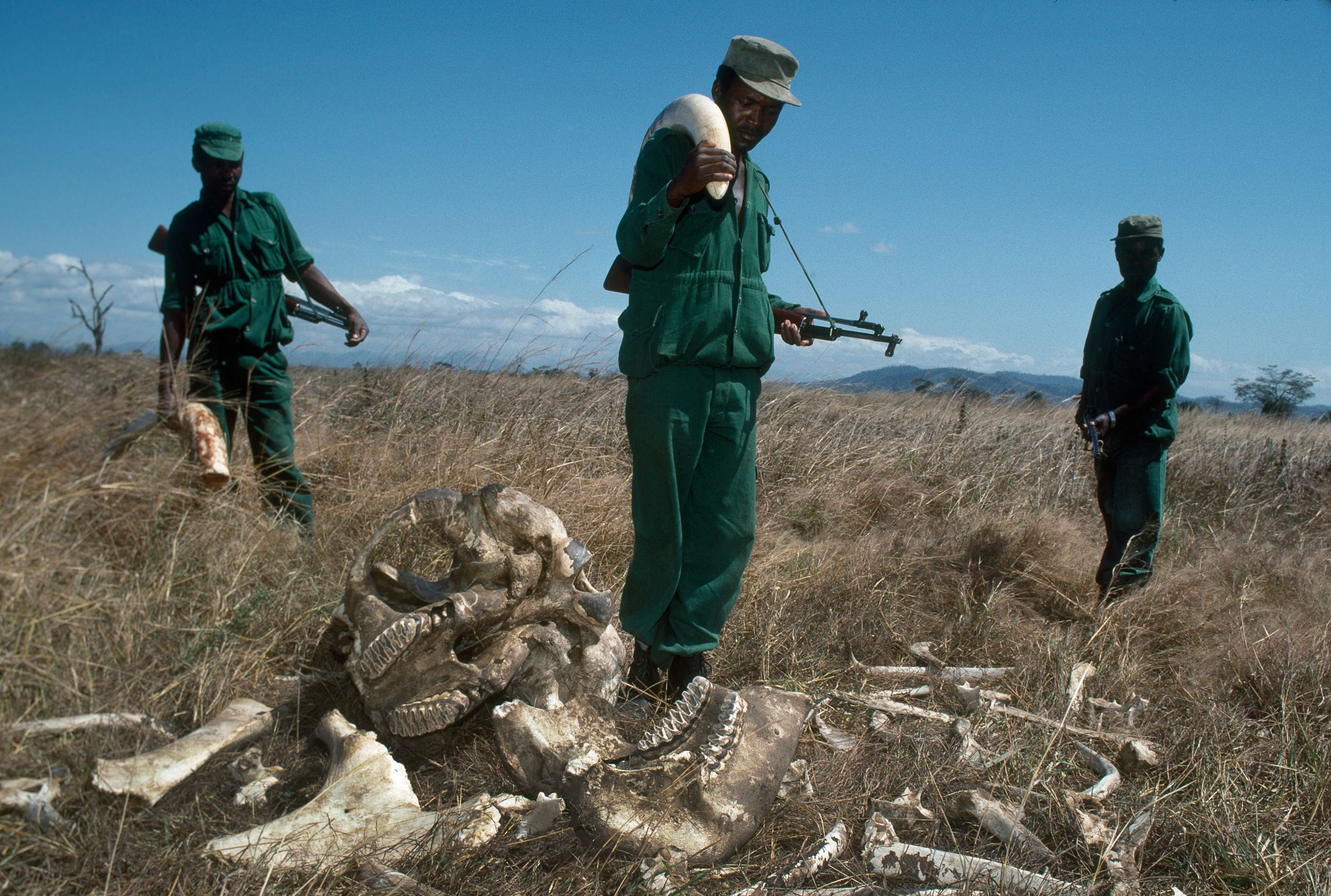 MIKUMI, TANZANIA- JULY 1989: Park Rangers, who earn 70 US dollars per month with a confiscated elephant ivory tusk worth 2,700 US dollars, at Mikumi National Park, Tanzania. The rangers stand beside the remains of a bull elephant killed by poachers.