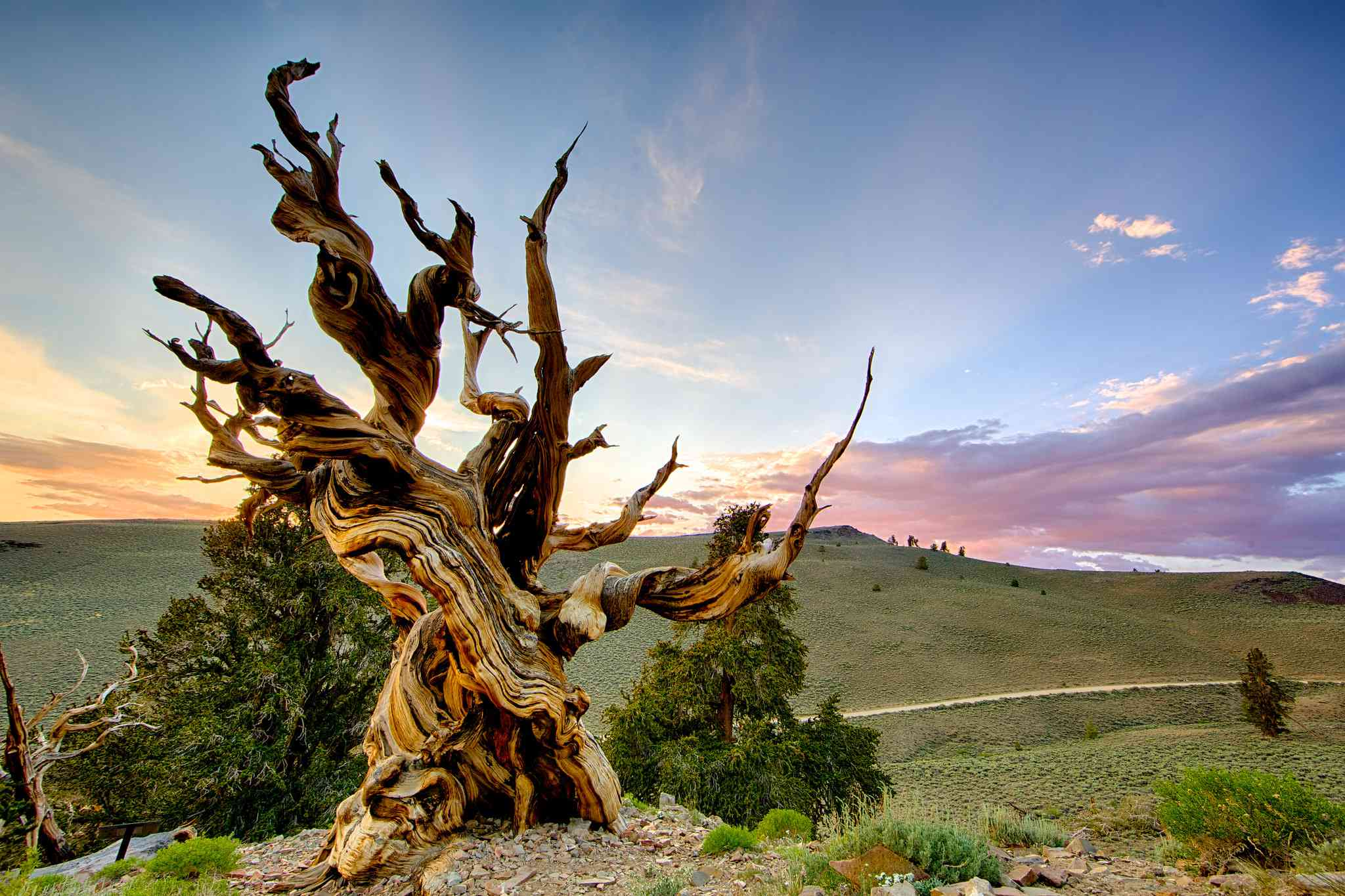 Methuselah Tree, Bristlecone pine with hills and sunset in the background