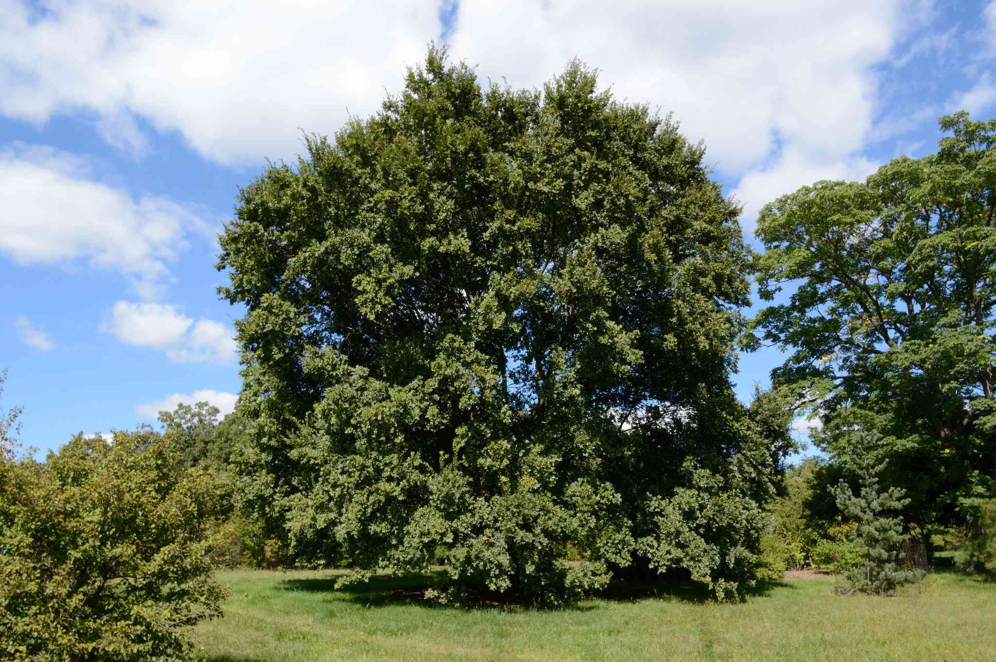 A Chinese Elm tree in a field against blue sky.