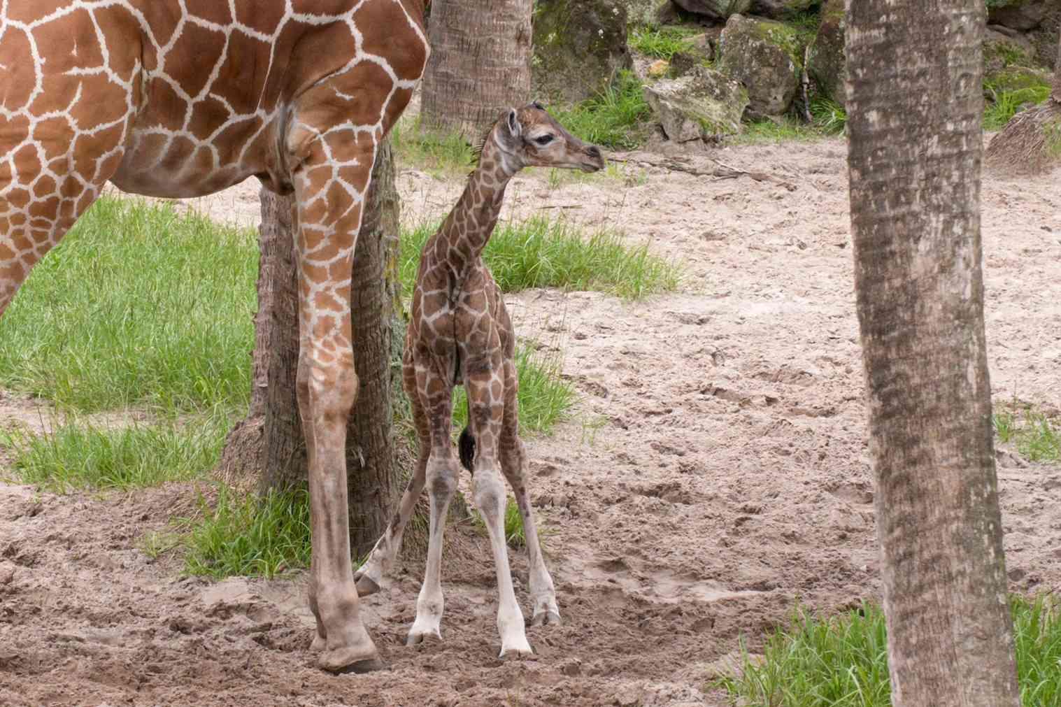 giraffe calf standing