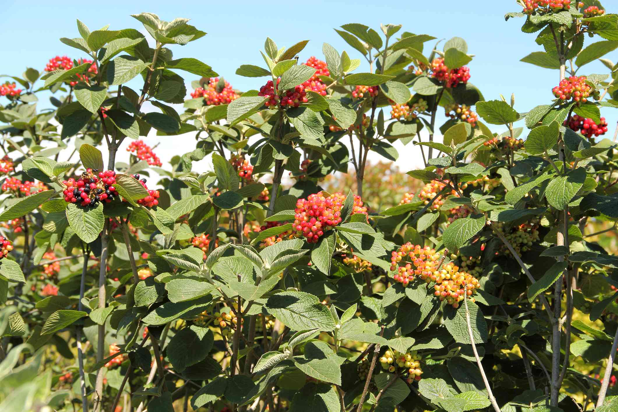 dogwood plant filled with red berries