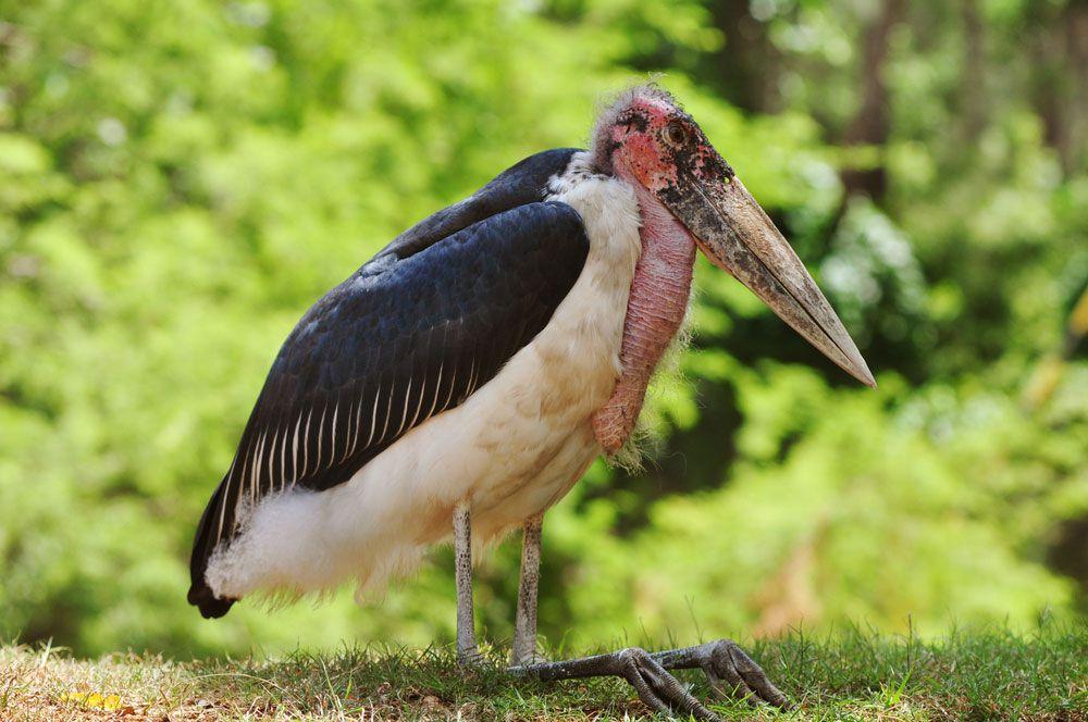 marabou stork standing in grass