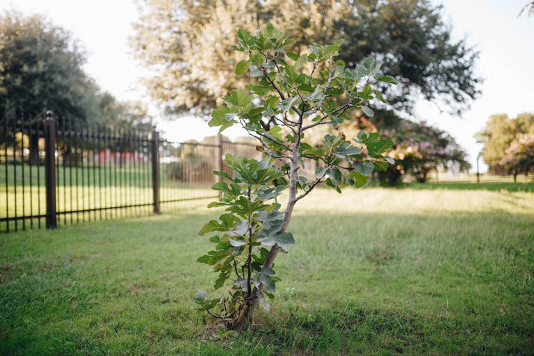 A small fig tree planted in a green lawn in front of a fence.