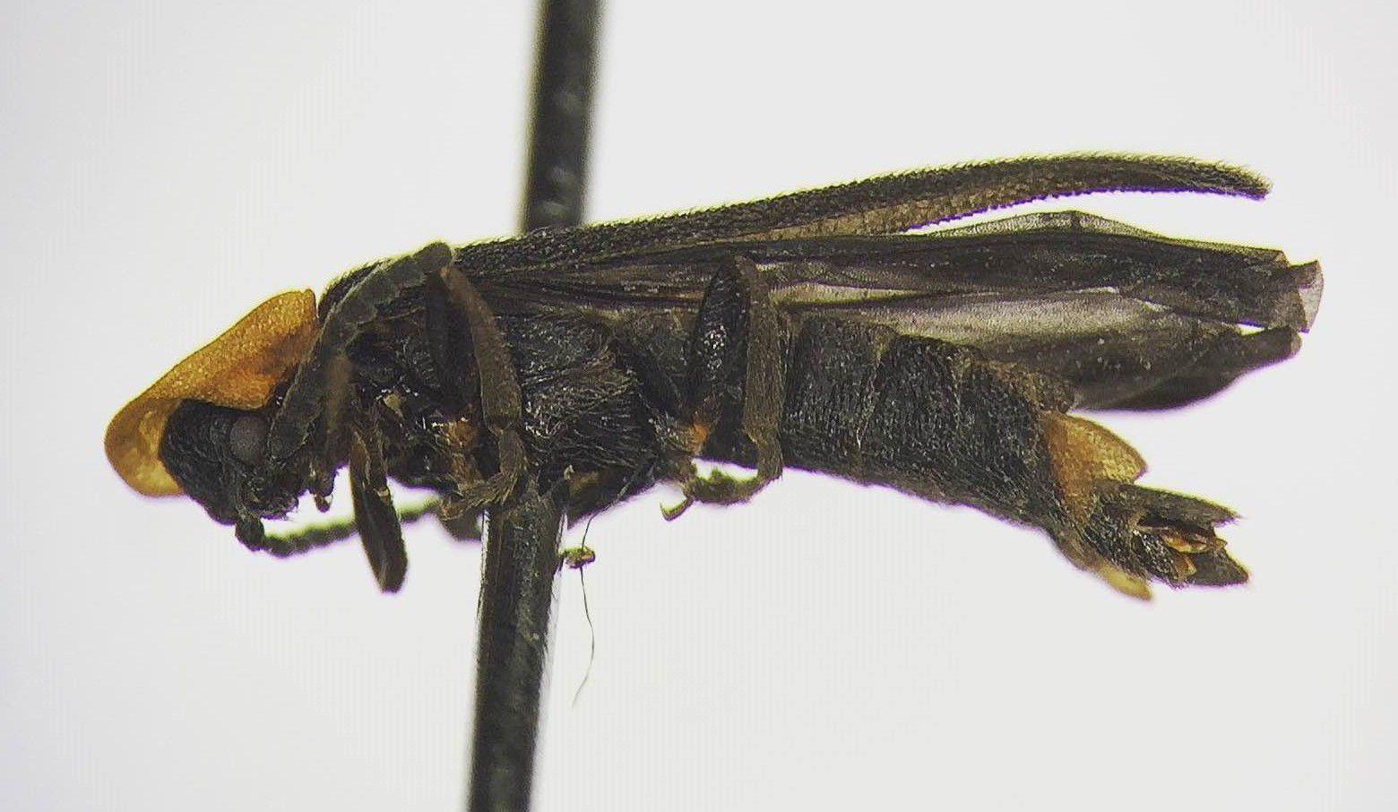 new firefly species