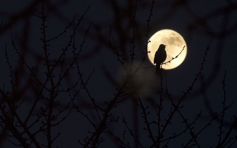 Silhouette of a bird sitting on a branch in front of a full moon