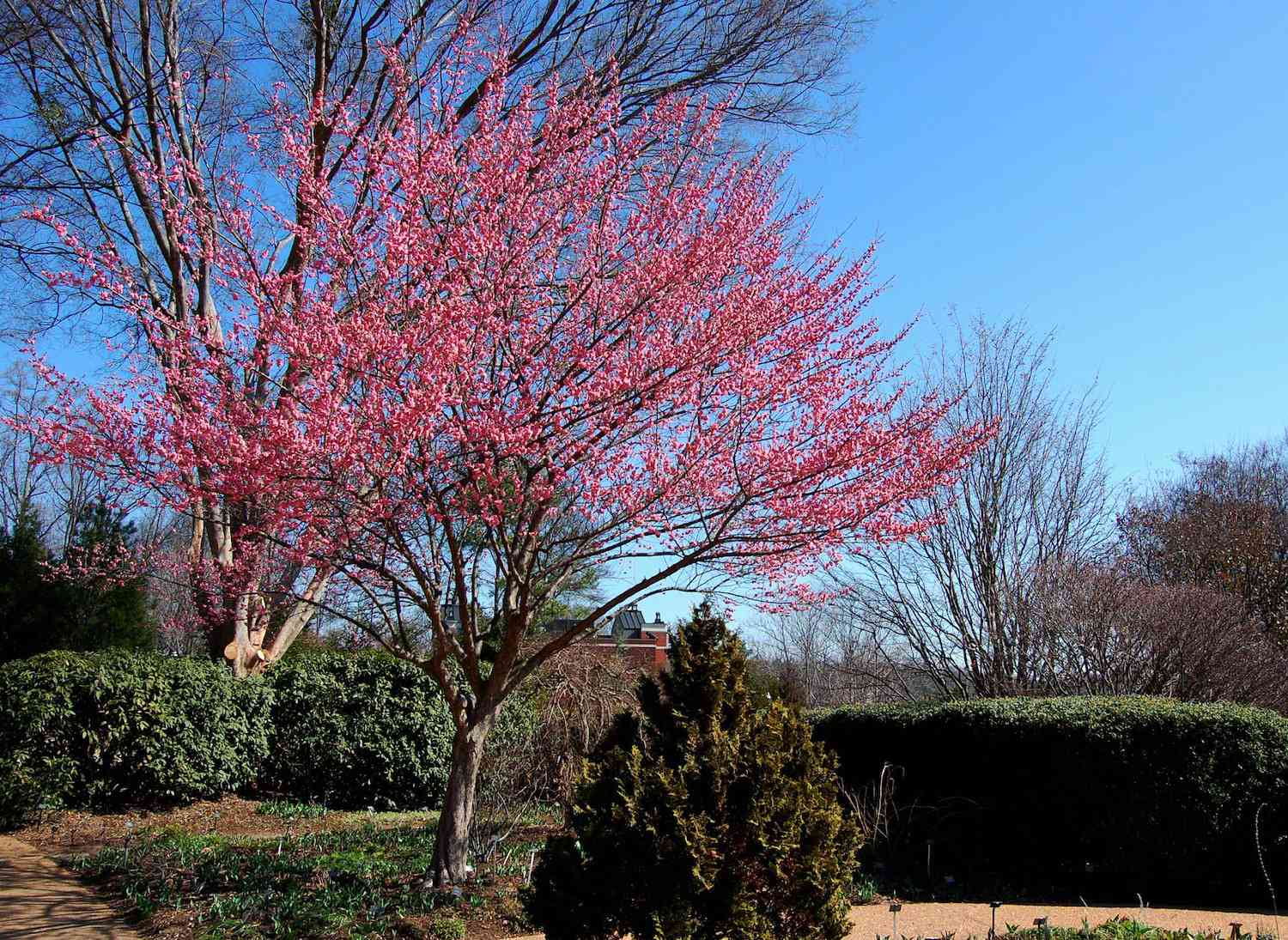 A small Japanese apricot tree in full bloom of pink against a bright blue sky