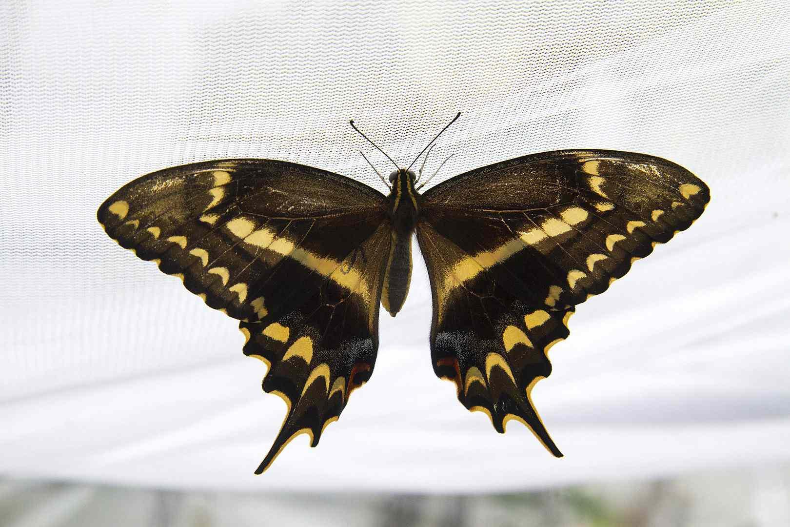 Shaus Swallowtail