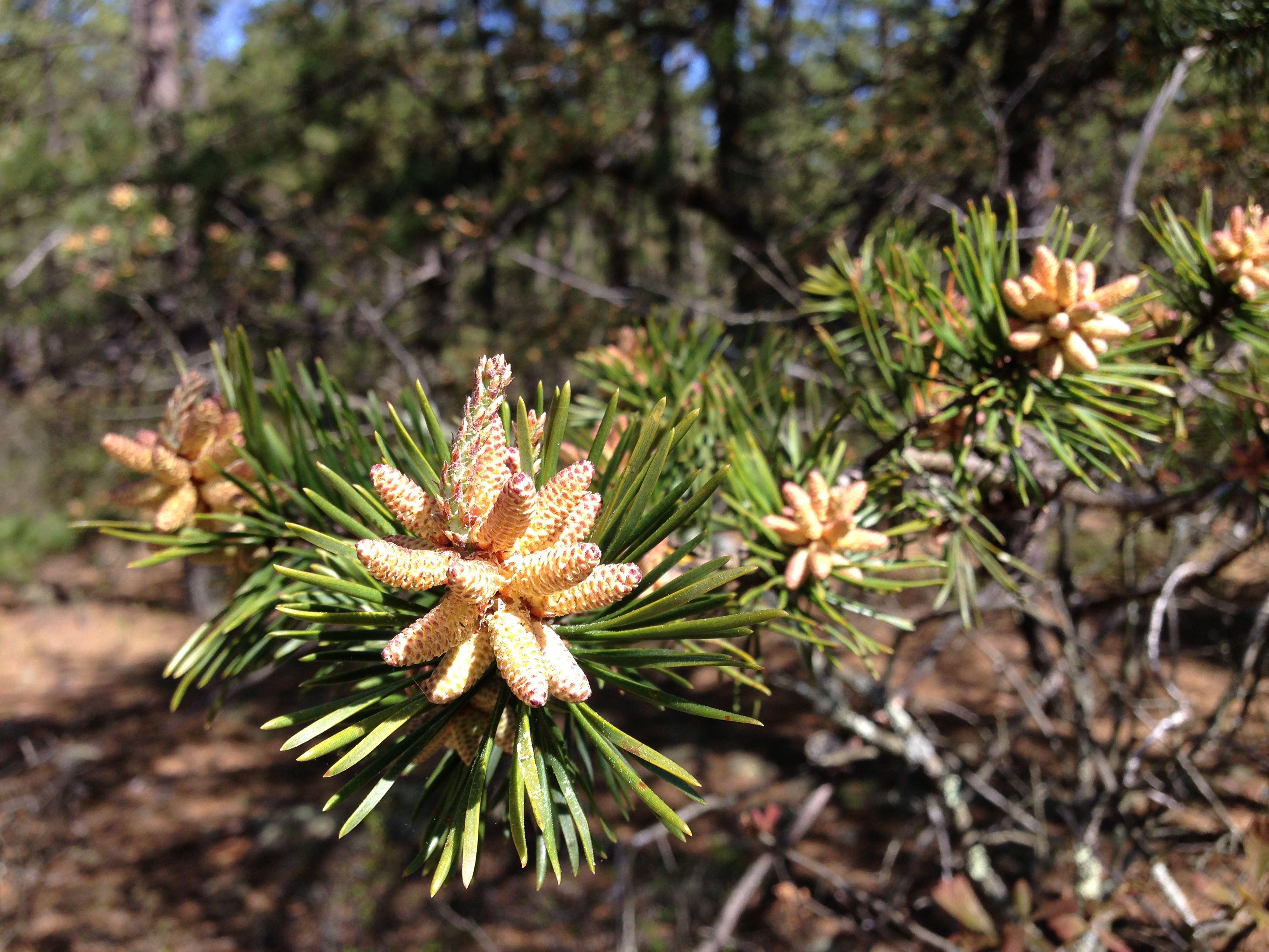 Virginia pine cones and needles
