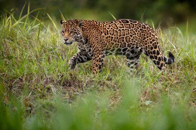 A jaguar moving through tall green grass.