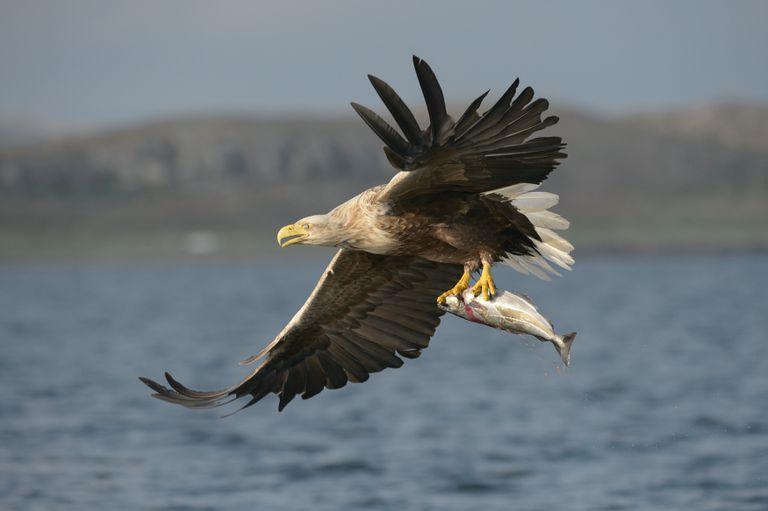 Después de una pausa de 240 años, las águilas de cola blanca están regresando al sur de Inglaterra